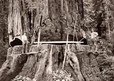 sequoia tree logging | Humboldt County, Logging Giant Redwood, c1890 Art Prints by WorldWide ...