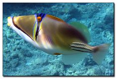 Arabische Picassotrekkervis - The Red Sea or Arabian Picasso triggerfish is the Red Sea version of the Lagoon triggerfish. They lack the black markings on the body.