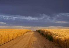 A golden Kansas wheat field and blue sky.