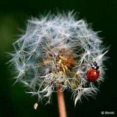 © Blende, Thomas Enslein, Marienkäfer | auf einer Pusteblume.