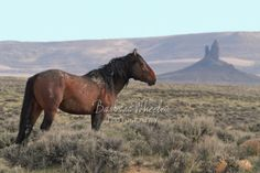 Rock Springs Wild Horses M121683  Stallion with Boar's Tusk in the background (Wyoming)  Available in prints, cards and canvases. Mugs are available in my Facebook store: http:store.barbarawheelerphotography.com.   Check out the wild horse galleries by state. We have hundreds of photos of mustangs from all over the US - over 60 herds.  http://barbarawheelerphotography.com/wildhorses