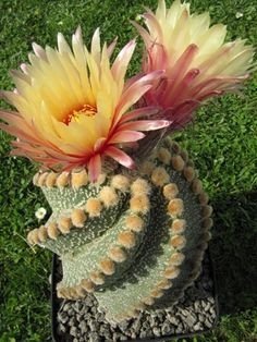 Sale 50 Rare African Mixed Plantas Cactus Succulent Plant Tree Purify Air Bonsai In The Heat Resistant Easy Care Creative Plants Unusual Flowers, Unusual Plants, Exotic Plants, Amazing Flowers, Beautiful Flowers, Prettiest Flowers, Cacti And Succulents, Planting Succulents, Planting Flowers