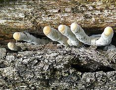 Xylaria polymorpha, Dead Man's Fingers  Image credit John Caddy