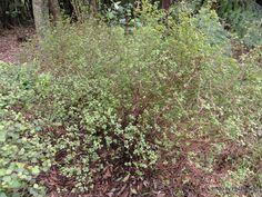 Teucridium_parvifolium_._parvifolium-001.JPG (1200×900)