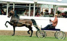 Massachusetts State Horse - Morgan Horse