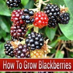 How To Grow Blackberries #gardening #homesteading