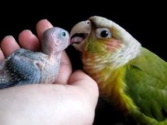 Conure & Baby Parrotlet #3 (clutch 2) - 16 days old