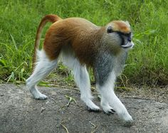The patas monkey (Erythrocebus patas), also known as the wadi monkey or hussar monkey, is a ground-dwelling monkey distributed over semi-arid areas of West Africa, and into East Africa. Reaching speeds of 55 km/h, it is the fastest runner among the primates.