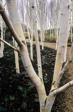 Anglesey Abbey Winter Gardens, Cambridgeshire, UK - A garden designed for vibrant winter colours and interest. - White Bark of Himalayan Silver Birch Trees.