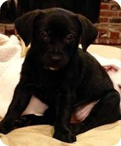 Marlton, NJ - Labrador Retriever/Terrier (Unknown Type, Medium) Mix. Meet Gia, a puppy for adoption. http://www.adoptapet.com/pet/12279471-marlton-new-jersey-labrador-retriever-mix