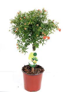 best4garden.co.uk Ltd - Pomegranate Tree, £26.85 (http://best4garden.co.uk/garden-plants/herb-and-fruit-trees/pomegranate-tree/)
