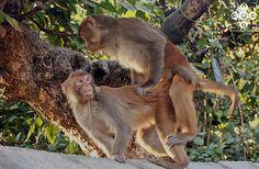 naughty monkey at swayambhunath stupa.