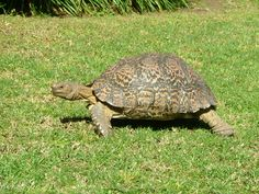 Mountain Turtle