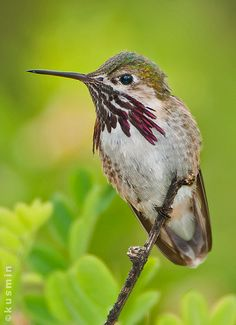 calliope hummingbird (stellula calliope)