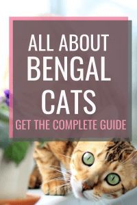 all about bengal cats #bengalcats #catbreed #bengal Kittens Cutest, Cats And Kittens, Cute Cats, Ragdoll Kittens, Funny Kittens, White Kittens, Kitty Cats, Asian Leopard Cat, Cat Toilet Training