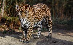 jaguar_wild_cat_predator_spots_93834_3840x2400.jpg (3840×2400)