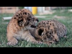 Cute Liliger Cubs: World's First Male Lion & Liger Hybrid Born In The USA - YouTube