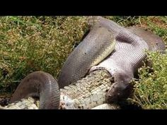 Snake Vs Crocodille (Snake Eating Alligator With Mouth elastic)