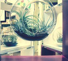 Aerium terrariums at ROD