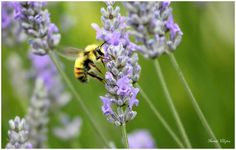 Captured this Bee sitting on Lavender
