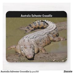 The saltwater crocodile is the largest of all living reptiles. An adult male saltwater crocodile's weight is lbs and length is normally ft. However, mature males can exceed 20 ft and weigh more than lbs. Crocodile Marin, Nile Crocodile, Saltwater Crocodile, Gustave Crocodile, Crocodile Dundee, Reptiles And Amphibians, Mammals, Dangerous Animals In Australia, Tier Fotos
