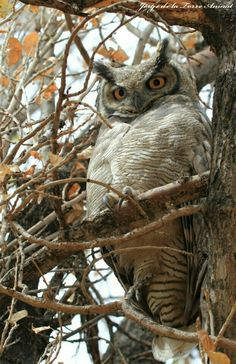 """A Magellan Horned Owl, in Chile.  """"Owls"""""""