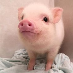 Miniature Pet Pigs – Why Are They Such Popular Pets? – Pets and Animals Cute Baby Pigs, Baby Piglets, Cute Piglets, Baby Animals Pictures, Cute Animal Pictures, Animals And Pets, Farm Animals, Cute Little Animals, Cute Funny Animals