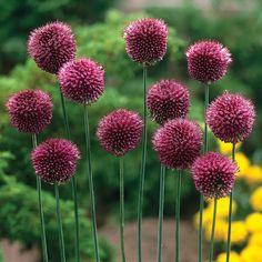 """Allium 'Drumstick' - blooms early summer, H-6"""", Van Meuwen"""