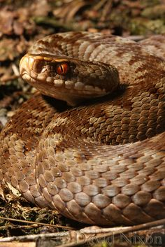 Adder, Vipera berus, Cannock Chase by Midlands Reptiles & British Wildlife Diaries, via Flickr