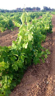 Un viñedo bien cuidado dice bastante de la organización de la plantación