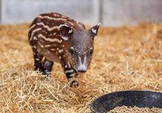 Baby tapir - he looks like a little walnut with a head and legs! So cute!