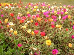 Portulaca - Moss. My grandfather's  favorite flower........she always had these brightening up the side of the 1020 Orlando house.