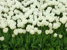 White-Tulips.jpg (4320×3240)