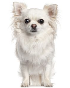 Dog - long-haired Chihuahua