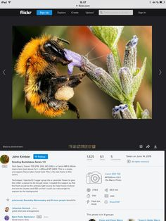 How to: settings on macro bumblebee photography. Photo by John Kimbler.