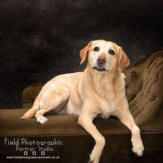 Love these breed of dog! #goldenlabrador #dogshoot #fieldphotographicportraits #merv_spencer | From Field Photographic Portrait Studio | http://ift.tt/20TBije