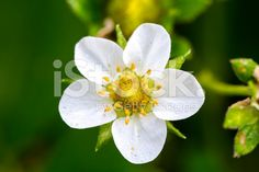 Close up of a garden Strawberry Blossom royalty-free stock photo