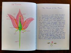 Waldorf ~ 5th grade ~ Botany ~ Flower ~ main lesson book