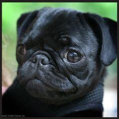 black baby pug