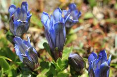 Greeted with Gentian Near Isolation Lake. Colchuck Lake Hike.