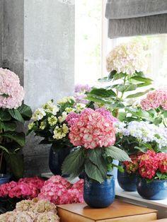 De Woonplant van de Maand Maart: de Hortensia.  #woonplant #living #plant #planten