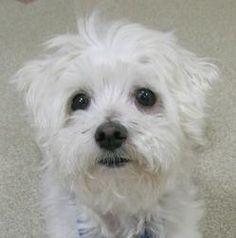 Pet Profile - Silk Maltese Gender: Male Fairfax, VA Birthday: June 29, 2003