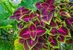 10 Plants for a Shaded Walkway - Garden Lovers Club --- Coleus is a great plant to use as foliage along a shaded pathway in your home and garden. They come in a variety of colors. Shade Tolerant Plants, Shade Garden Plants, Flowering Shade Plants, Full Shade Plants, Shaded Garden, Comment Planter, Full Sun Perennials, Perfect Plants, Foliage Plants