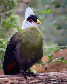 White-crested Turaco (Tauraco leucolophus) - riverine forest and woodland in a belt between eastern Nigeria and western Kenya