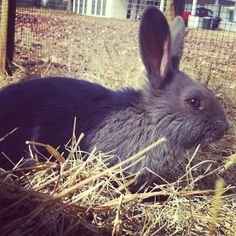 Adventures of an Amateur Farmer: Why we love American blue rabbits: An excellent homestead rabbit