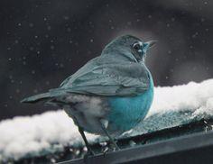 Bird In The Snow art Print-Nature Photography-Blue Bird Of Happiness Photo 8 x 10- Animal Fine Art Photography- -Blue Home Winter Art