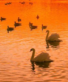 On golden pond - sunset swan