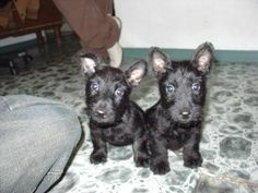SO. CUTE. | 21 Reasons Scottish Terriers Are The Champions Of Our Heart