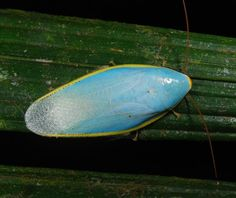 Sky-Blue Cockroach | Community Post: 17 Incredible Insects You Won't Believe Exist