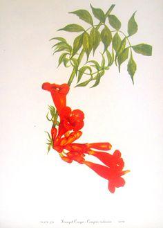Flower Print - Trumpet Creeper, Cross Vine - 2 Sided - 1950's Vintage Botanical Illustration Book Page. $10.00, via Etsy.